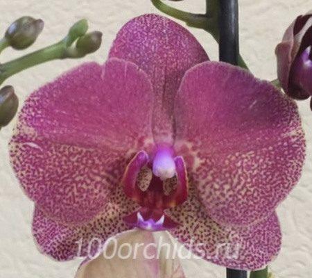 Raul орхидея фаленопсис
