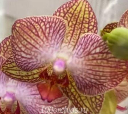 Орхидея фаленопсис Ravello