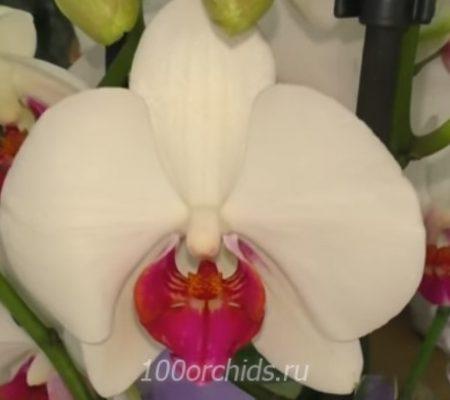 Red Eye орхидея фаленопсис