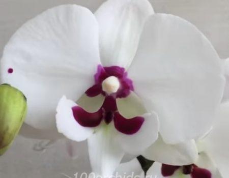 Орхидея фаленопсис Reyoung Prince