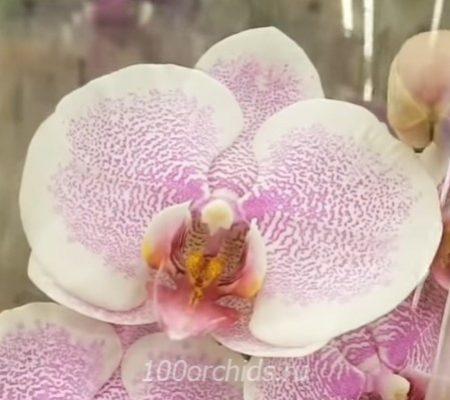 Romance орхидея фаленопсис
