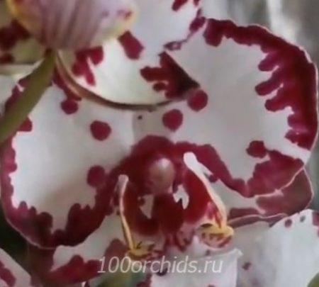 Орхидея фаленопсис Rood
