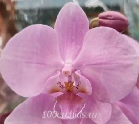 Орхидея фаленопсис Rose 2