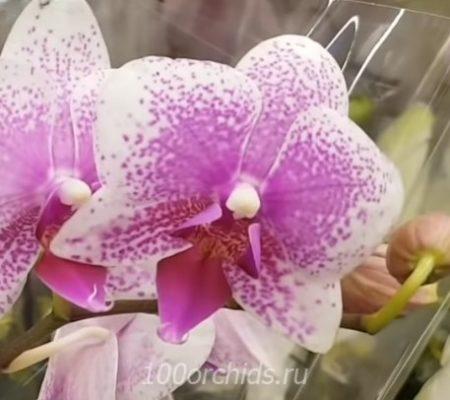 Rotterdam орхидея фаленопсис
