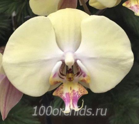 Champagne орхидея фаленопсис