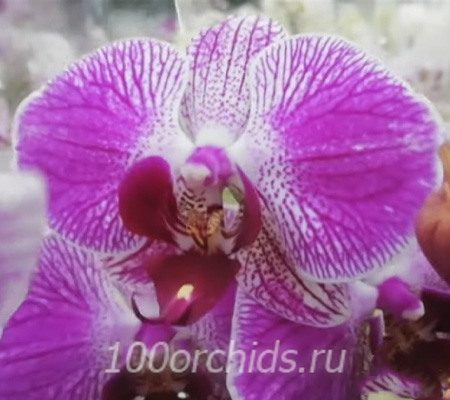 San Diego орхидея фаленопсис
