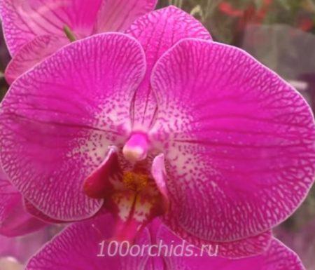 Орхидея фаленопсис Sangria