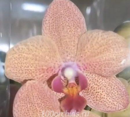 Орхидея фаленопсис Sanset Love