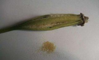 Семена орхидеи выглятят так