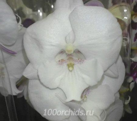 Silk Road big lip орхидея фаленопсис