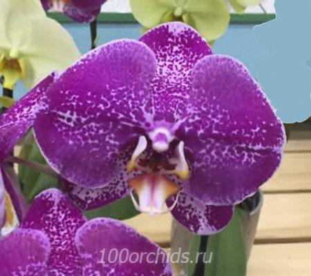 Сингало орхидея фаленопсис