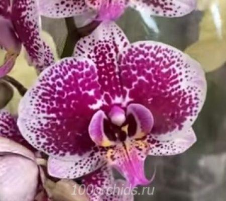 Орхидея фаленопсис Sogo Magic