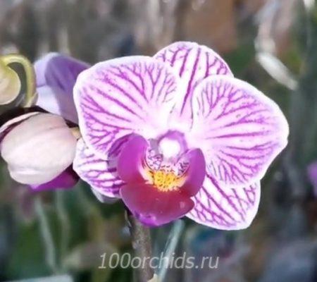 Sogo Vivien орхидея фаленопсис