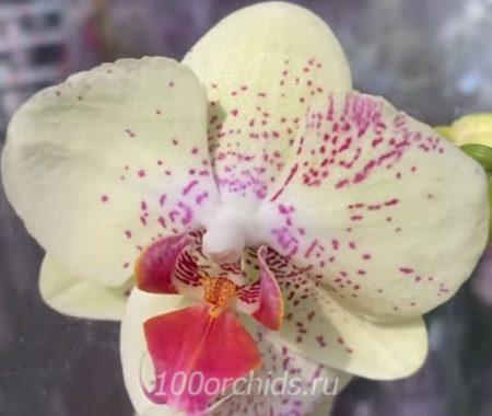Орхидея фаленопсис Sorento