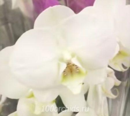 Southampton орхидея