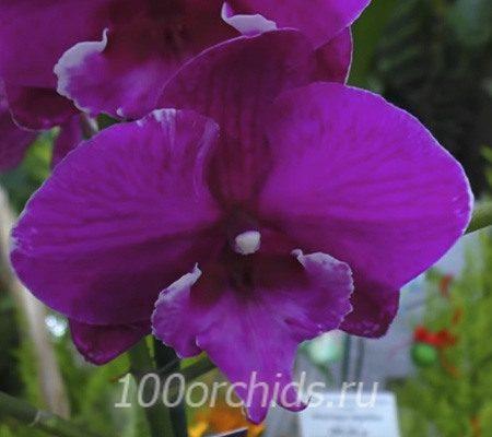 Spec Paars орхидея фаленопсис