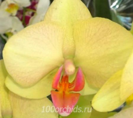 Орхидея фаленопсис Summer Bright