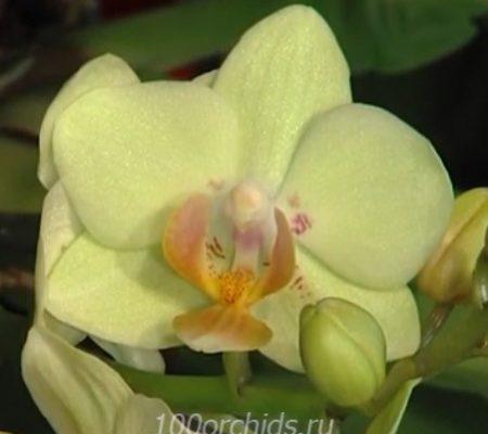Орхидея фаленопсис мини Sunhine