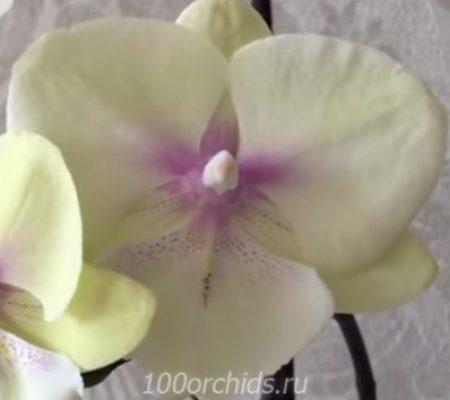Орхидея фаленопсис биг Sunset Kizz лип