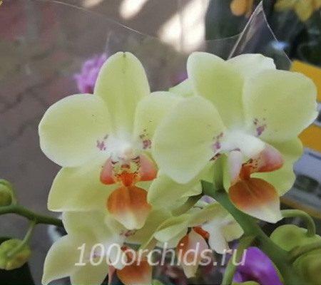 Sunshine mini орхидея фаленопсис