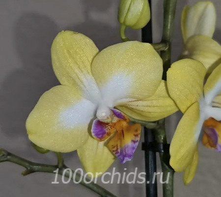 Sweet Girl орхидея фаленопсис