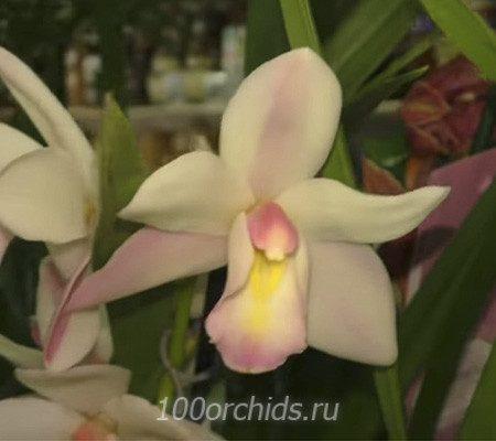 Цимбидиум бело-розовая с желтой полоской на губе
