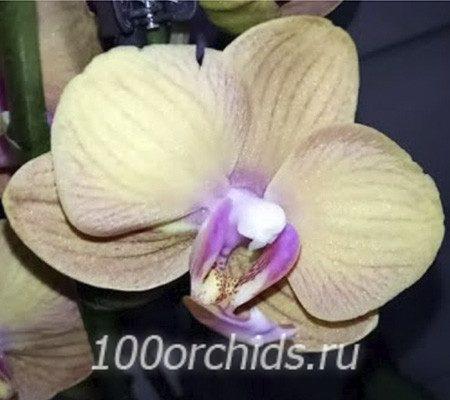 Tamara орхидея фаленопсис