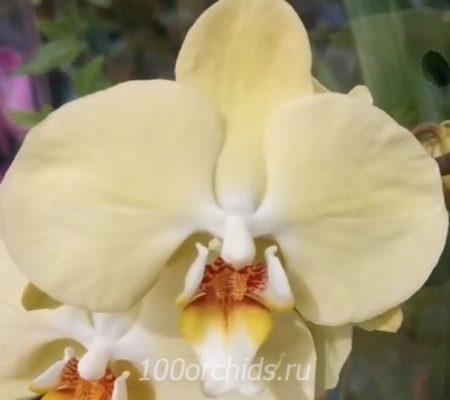 Орхидея фаленопсис Testo