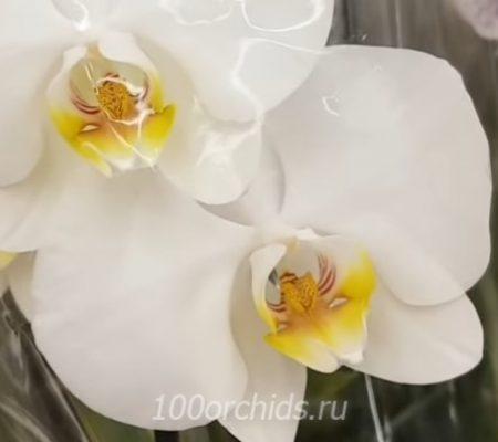 Timberlige орхидея фаленопсис