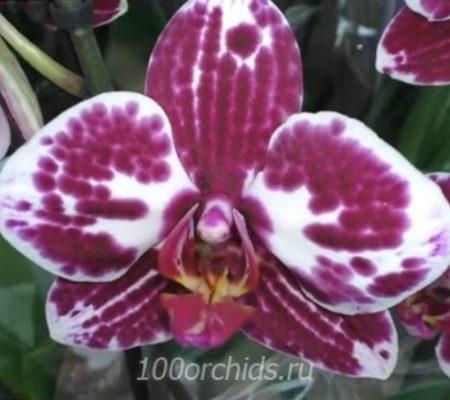 Toledo орхидея