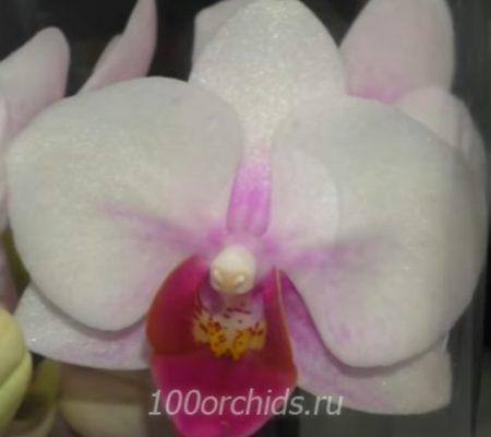 Topolino mini орхидея фаленопсис