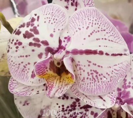 Орхидея фаленопсис Tropic Ocelot