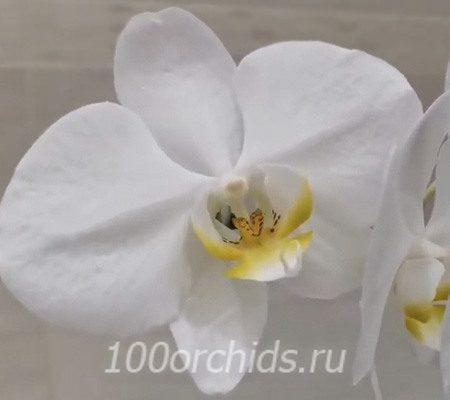 Twist Angel орхидея фаленопсис