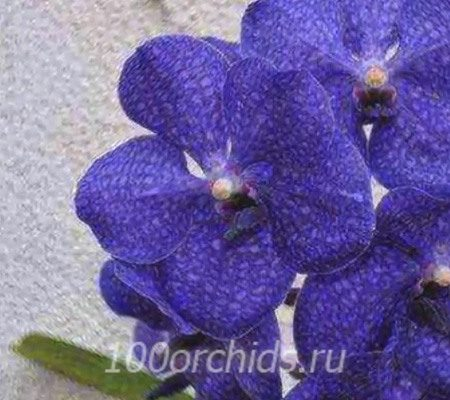 Ванда орхидея