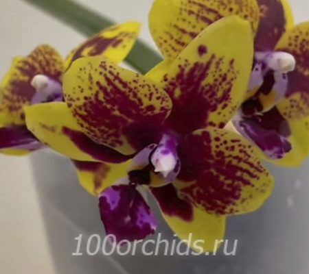 Везувий орхидея фаленопсис