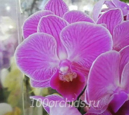 Vienna орхидея фаленопсис мини