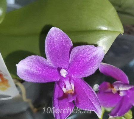 Violacea орхидея фаленопсис