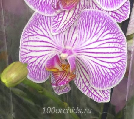 Warsaw орхидея фаленопсис
