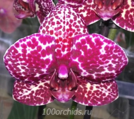 Wild Cat орхидея фаленопсис