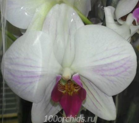 Winter Love орхидея фаленопсис