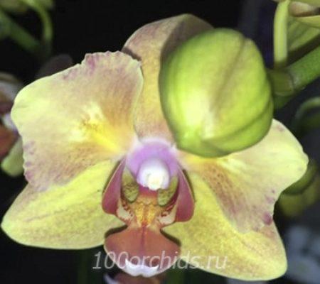 Yellow Boy орхидея фаленопсис мини бабочка