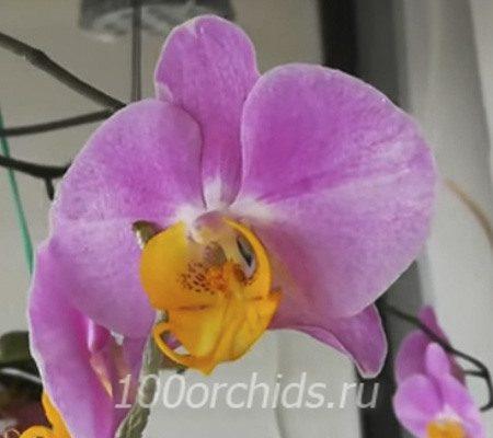 Yellow Lip орхидея фаленопсис