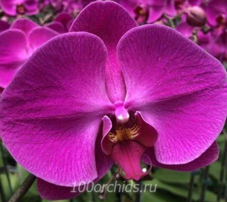 Yen Shuai Red Grape орхидея фаленопсис