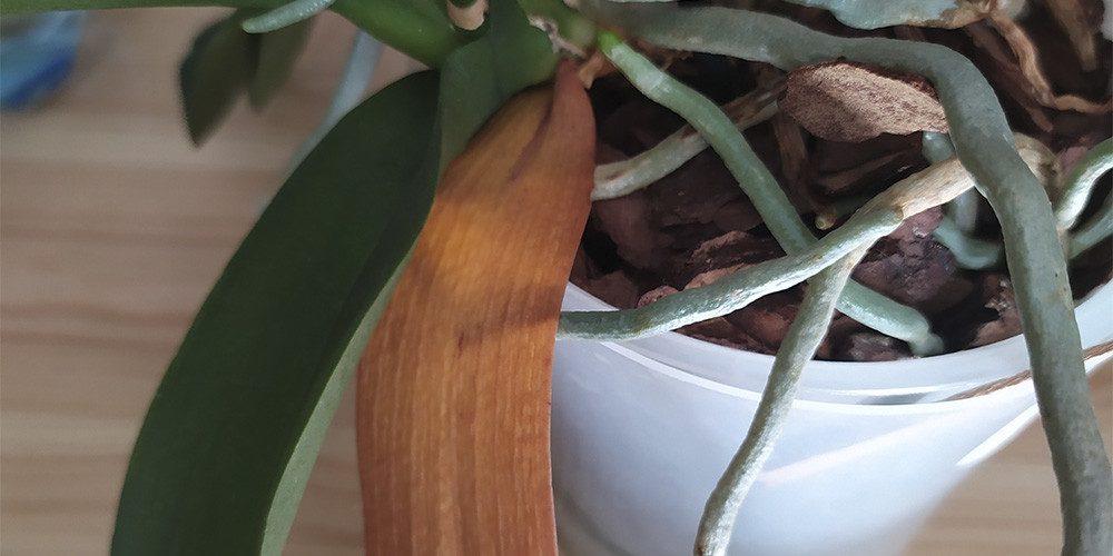 Желтый лист у орхидеи
