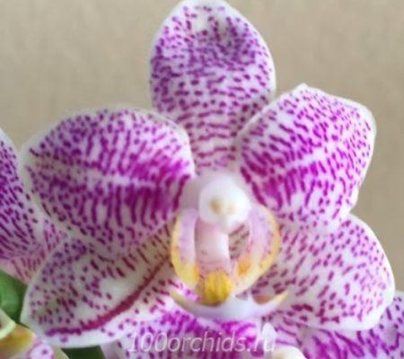 Орхидея фаленопсис Zambia