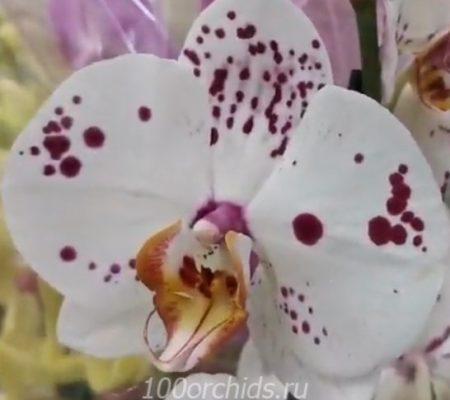 Zamora орхидея фаленопсис