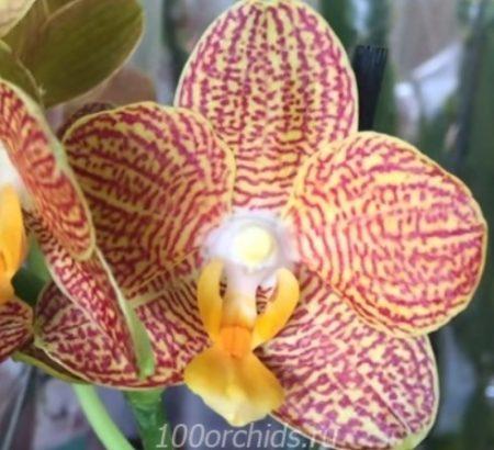 Орхидея фаленопсис Zoro