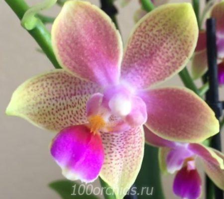 Rainbow Sand орхидея