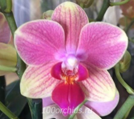 Орхидея фаленопсис Summer Song