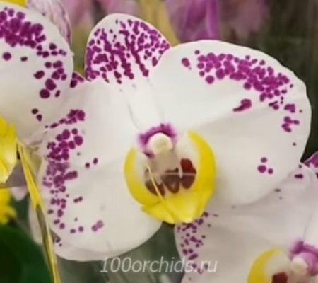 Орхидея фаленопсис Cupid Spirit